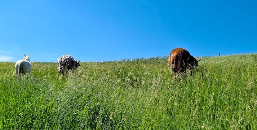 pastviny, alchýmia pastvín, spásanie pastvín, informácie o pastvinách, výber rastlín na pastviny, výber sena, kŕmna dávka koňa